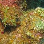 Smooth Trunkfish post-larval juvenile - thanks Ingrid