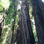 Coastal redwoods in Muir Woods