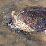 Каждый день приплывает черепаха