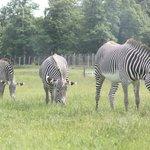 3 zebra