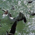 hand feeding the pelicans