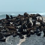 Closest views of Cape Fur Seals on CALYPSO