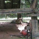 Sumatran tiger on the safari ride