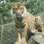 Marvelous Tiger