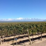 Pulenta Estate Wine Vineyard