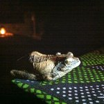 Friendly Frog at dinner