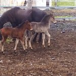A couple of the mares had foals