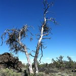 Witches Broom tree