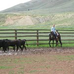 team penning of the cattle