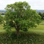 Wonderful tree surrounding Old Sarum