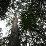 Top of anceiint Yellowwood tree.
