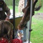 giraffe voeren in de bus