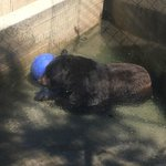 Black bear cooling off