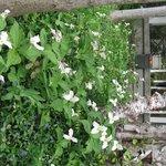 Trillium's by porch