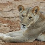 local lion in Samburu