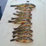 Perch caught in Lake Fanny Hooe