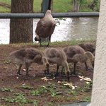 Goose family that loved to be fed!