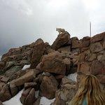 Mt. Evans Mtn goat