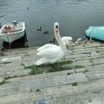 """""""The Swan Family"""""""