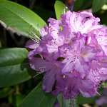 Very lush rhododendrum