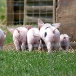 The piglets were adorable