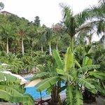 A lot of banana trees