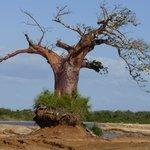 Boa Boa Tree