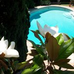 magnolia près de la piscine