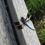 Dragonfly in the native plant garden