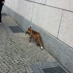 Fox walking by former SS building