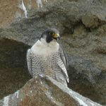 Peregrine Falcon at Morro Bay