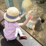 Meerkat, London Zoo