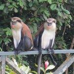 Two Mona Monkeys in the rain forest
