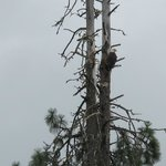 Bald eagle seen on our jetboat excursion