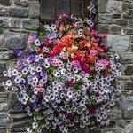 Flowers at Skerries Mill