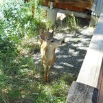Deer at back deck