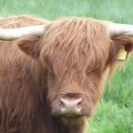 The Hairy Coo!