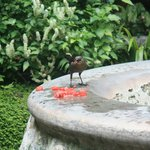 Bird eating watermelon at the fountain.