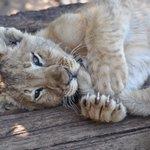cub biting his sibling,s tail