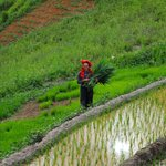 Red Dao Woman working in the rice fields beside the hotel
