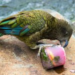 Frozen treats for the Kea bird