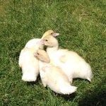 baby ducklings :)