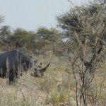 white rhino next to Okaukuejo