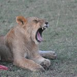 Lions seen on Porini Lion Camp game drive