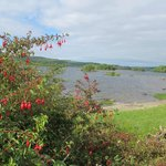 fuchsias sauvages au bord du Lough