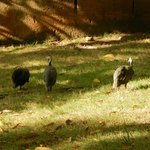 Chickens and guinea hens all over the grounds