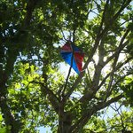 The kite-eating tree at the Charles M. Schulz Museum