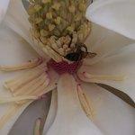 Fleur de magnolia et son abeille