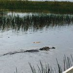 Alligator during the airboat ride