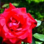 Rose at Beylerbeyi Palace